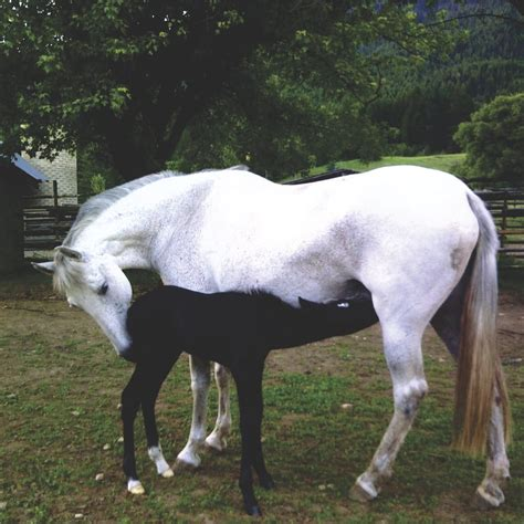 andalusian sienna mares oa andalusians
