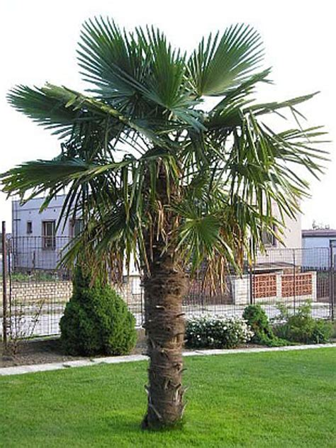 Palme Garten Und Landschaftsbau Berlin by 250 Cm Hanfpalme Trachycarpus Fortunei Freilandpalme