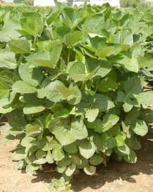 Field Soybean Plant