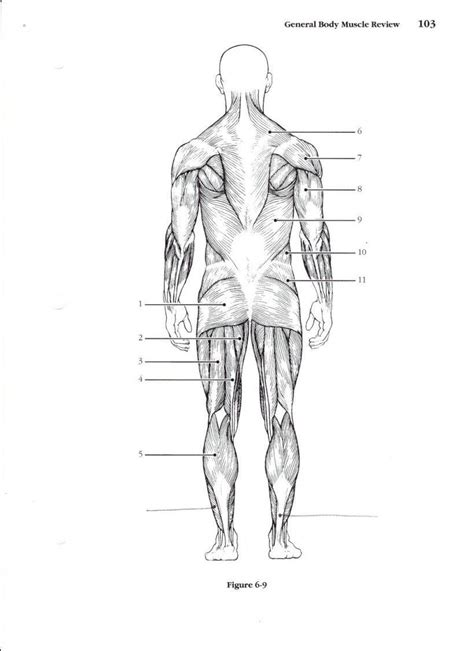 Almost every muscle constitutes one part of a pair of identical bilateral. Muscular System Worksheet | Lobo Black | Muscle diagram ...