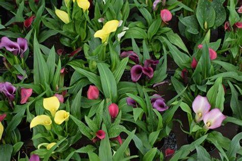Calla Pflanze Kaufen by Calla Pflanze Pflege Calla Zimmercalla Zantedeschia