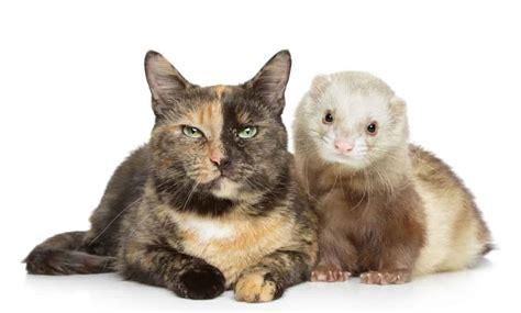 Ferret vs cat