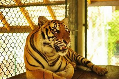 Tiger Kingdom Thailand Phuket Playing Travel Teach