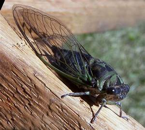 Study finds evidence of non-adaptive evolution within cicadas
