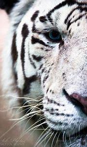 #13 - Moti, White Bengal Tiger In Black And White | Tiger ...