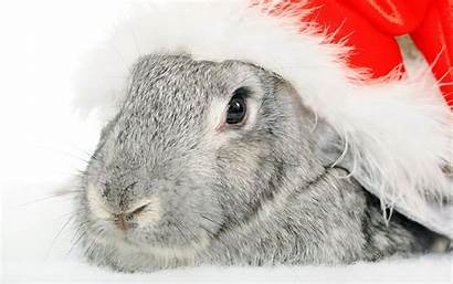 Rabbit Bunny Christmas Xmas Merry Wallpapers Happy