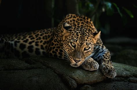 leopard hd wallpaper high resolution pixelstalknet