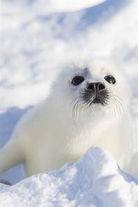 37 best Baby harp seals images on Pinterest | Adorable ...