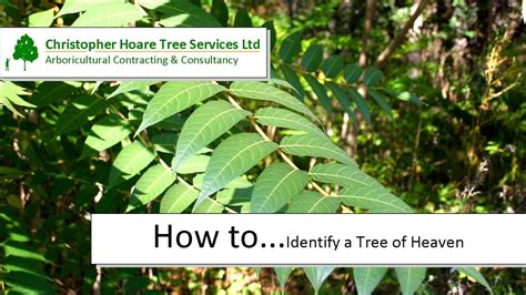 How To Identify The Tree Of Heaven Youtube