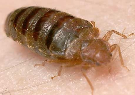 bed bugs inspecting for the new quot house herpes quot internachi