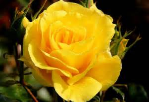 history and meaning of yellow roses proflowers