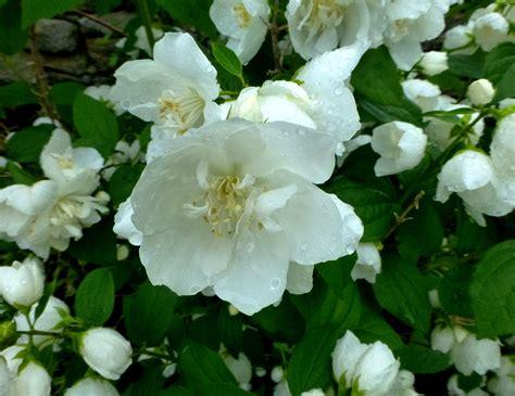 fragrant flowering bushes favorite fragrant flower philadelphus coronarius mock orange mock orange white gardens