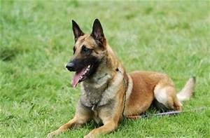 Top 10 Best Police Dog Breeds | Best Large Breed Puppy ...