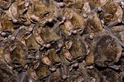 bent winged bats hibernating australia a photo on
