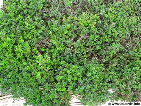 quiz de cuisine serpolet thym serpolet thymus serpyllum conseils de