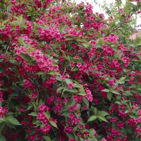 weigela shrubs weigela florida bristol ruby