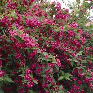 Weigela Bristol Ruby : weigela florida bristol ruby ~ Michelbontemps.com Haus und Dekorationen
