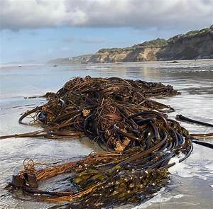 Lecture On Bull Kelp