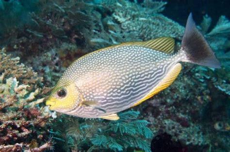 Gambar Ikan Lele Terlengkap nama nama ikan laut dan gambarnya terlengkap nama nama hewan