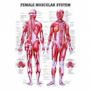 The Female Muscular System Laminated Anatomy Chart