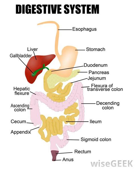 d馗orer cuisine what are digestive juices with pictures