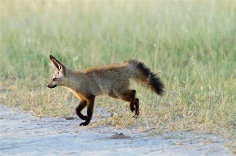 cape fox botswana wildlife guide