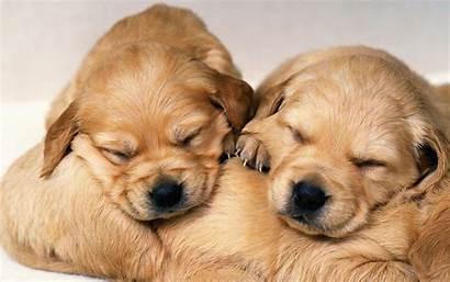 Puppy Puppies Wallpapers Golden Retriever Pixelstalk Wallpapersafari