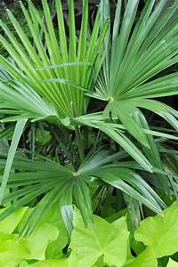 Trachycarpus Fortunei Auspflanzen : hanfpalme trachycarpus fortunei pflege vermehrung majas pflanzenwelt ~ Eleganceandgraceweddings.com Haus und Dekorationen