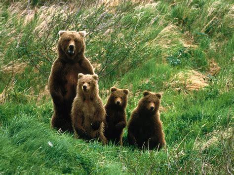 imagenes animales en alta definicion imagen familia de osos