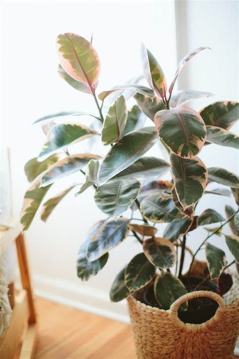 variegated rubber tree plant wedding party ideas