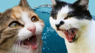 vs cat cats vs water
