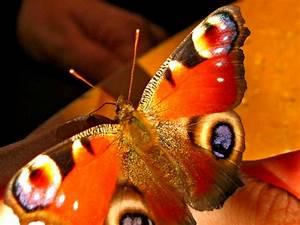 Bedeutung Schmetterling In Der Wohnung : mein schmetterling beim f ttern foto bild tiere natur bilder auf fotocommunity ~ Watch28wear.com Haus und Dekorationen