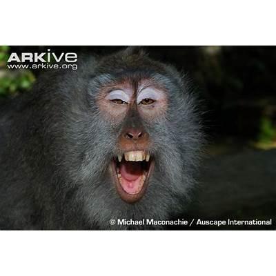 Macaca fascicularis; Monkey Crab-Eating;