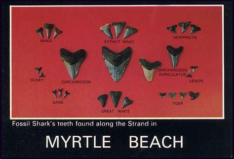 postcard fossil sharks teeth myrtle beach south caroli flickr