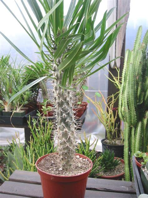 not shabby glenside indoor cactus plants 28 images 25 best ideas about indoor cactus garden on pinterest