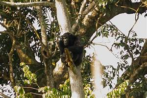 Chimpanzees found to survive in degraded and human ...