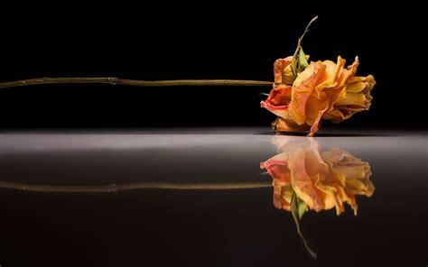 玫瑰花桌面壁纸 高清-高清晰玫瑰花图片-玫瑰花.动态壁纸-唯美鲜花-红玫瑰花手机壁纸高清-电脑桌面日程表