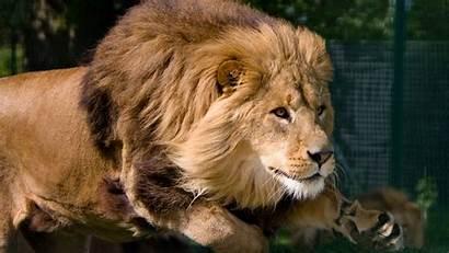 Lion Wallpapers Animals Background Jump Desktop Animal