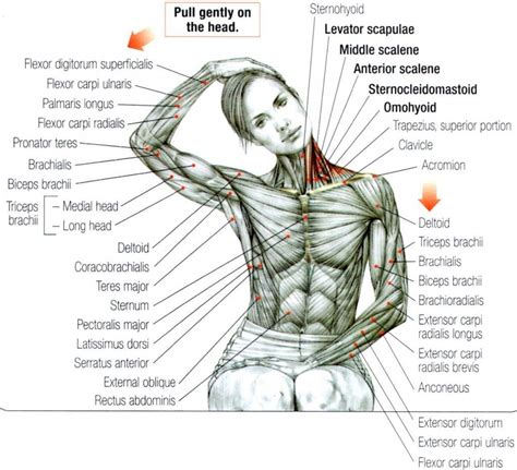 We think this is the most useful anatomy picture that. Stretching: How to Stretch the Neck and Trapezius #exercise #fitness | Yoga anatomy, Exercise ...