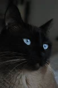 Black Siamese Cat with Blue Eyes