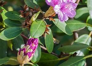 Rhododendron Blüten Schneiden : rhododendron pflege experten tipps zum gie en d ngen schneiden plantura ~ A.2002-acura-tl-radio.info Haus und Dekorationen