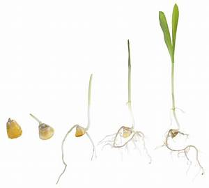 Seed Science: Seed Germination | Corn and Soybean Digest