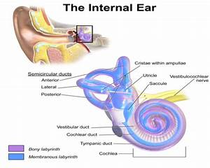 Anatomy Of Inner Ear  It Consists Of Six Mechanoreceptor