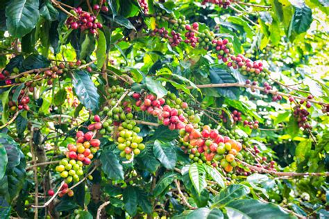 Browse 2,741 coffee plant stock photos and images available, or search for coffee plantation or coffee beans to find more great stock photos and pictures. Coffee Beans Ripening On Tree Stock Image - Image of caffeine, farm: 36935961