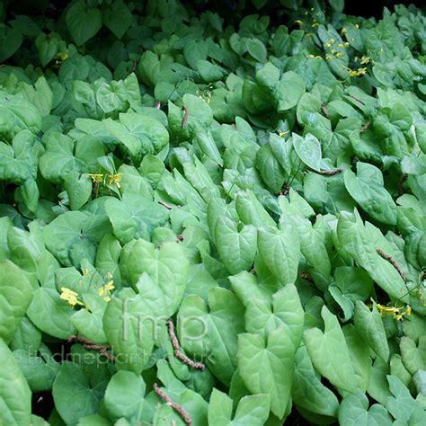 plants pictures plant pictures epimedium berralchicum epimedium