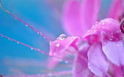Drops Flower Pink Close Wallpapers Drop Background