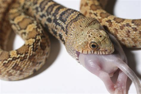 An Incredible List Of Nonvenomous Snakes With Pictures