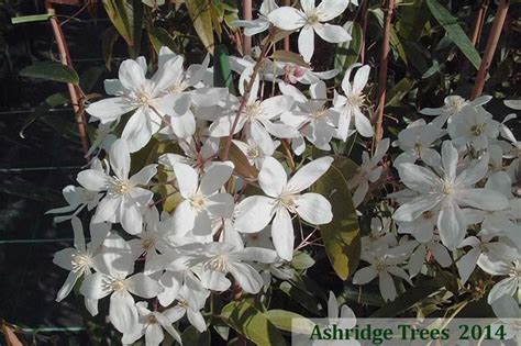 Armandii, Clematis For Sale