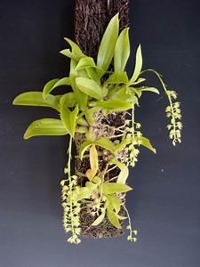 Schöne Orchideen Bilder : liparis sp orchideen orchideen und sch ne bilder ~ Orissabook.com Haus und Dekorationen