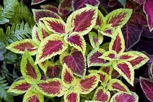 Zimmerpflanze Mit Roten Blättern : buntnessel vermehren umtopfen und auss en ~ Eleganceandgraceweddings.com Haus und Dekorationen